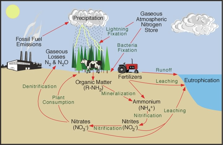 Nitrogen Cycle- Definition and Steps